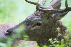 Rode Herten tijdens de herfst Royalty-vrije Stock Foto