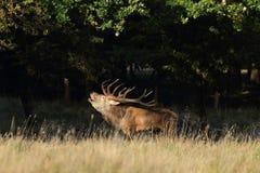 Rode hertenbronst Stock Foto's