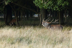 Rode hertenbronst Stock Foto