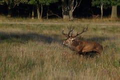 Rode hertenbronst Royalty-vrije Stock Fotografie