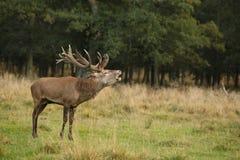 Rode hertenbronst Royalty-vrije Stock Foto's