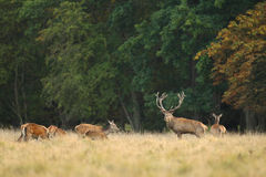 Rode hertenbronst Stock Fotografie
