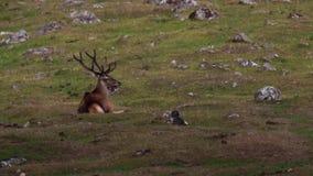 Rode hertenmannetjes, Cervus-elaphus die, die en op heide in augustus in het rookkwartsen nationale park weiden rusten, Schotland stock videobeelden