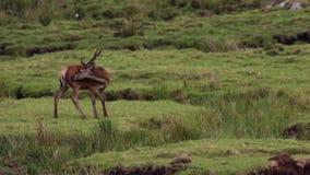 Rode hertenmannetjes, Cervus-elaphus die, die en op heide in augustus in het rookkwartsen nationale park weiden rusten, Schotland stock footage