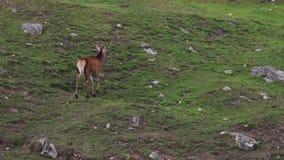 Rode hertenmannetjes, Cervus-elaphusscoticus, die binnen een nauwe vallei in september rusten, rookkwartsen nationaal park stock videobeelden