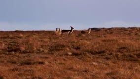 Rode hertenmannetjes en hinds, Cervus-elaphus die, die en onder de grasrijke hellingen in Sutherland, Noord-Schotland lopen weide stock videobeelden