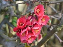 Rode het bloeien japonica van Chaenomeles van de kweepeerboom royalty-vrije stock foto