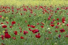 Rode het gebiedslentetijd van de papaversbloem royalty-vrije stock foto
