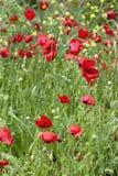 Rode het gebiedslentetijd van de papaversbloem royalty-vrije stock afbeeldingen