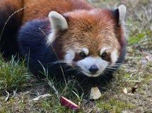 Rode het Glanzen van de Panda Kat Stock Afbeelding