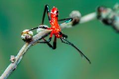 Rode het insectennimf van de Moordenaar Stock Foto