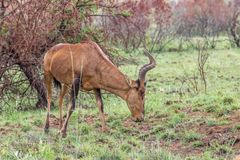Rode het meest hartebeest: Caama van Alcelaphusbuselaphus stock foto