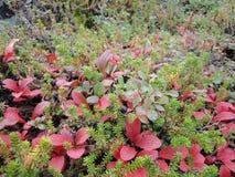 Rode het noordenbladeren met bessen (Canada) Stock Afbeeldingen
