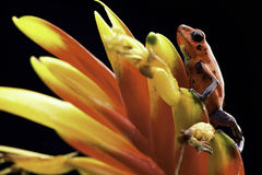Rode het pijltjekikker Costa Rica van het aardbeivergift Royalty-vrije Stock Foto