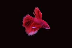 Rode het vechten vissen Stock Foto's
