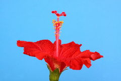 Rode hibiscus royalty-vrije stock foto