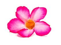 Rode hibiscus Royalty-vrije Stock Foto's