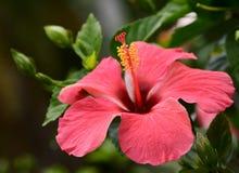 Rode hibiscus Royalty-vrije Stock Afbeelding