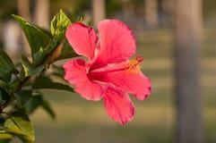 Rode Hibiscus Royalty-vrije Stock Afbeeldingen