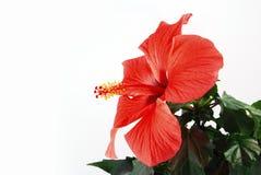 Rode hibiscus royalty-vrije stock fotografie