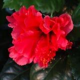 Rode Hibiscus Stock Afbeelding