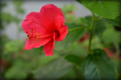 Rode Hibiscus Stock Fotografie
