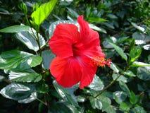 Rode hibiscus mooie die bloem in botanische tuin wordt gekweekt stock foto's