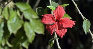 Rode hibiscus op donkere tuinachtergrond Stock Foto's
