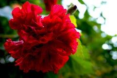 Rode hibiscus rosa Stock Afbeelding
