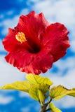 Rode hibiscusbloem Stock Afbeelding