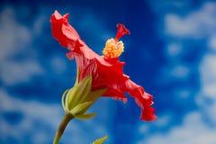 Rode hibiscusbloem Royalty-vrije Stock Fotografie
