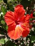 Rode hibiscusbloem Stock Foto