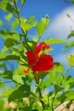 Rode hibiscusbloem Stock Foto's