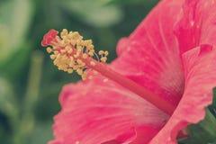 Rode hibiscusbloem Royalty-vrije Stock Afbeeldingen