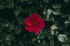 Rode hibiscusbloem op groene bladerenachtergrond Tropische Tuin Sluit omhoog mening van rode hibiscusbloem Hibiscus rosa-sinensis Stock Afbeeldingen