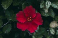 Rode hibiscusbloem op groene bladerenachtergrond Tropische Tuin Sluit omhoog mening van rode hibiscusbloem Hibiscus rosa-sinensis Royalty-vrije Stock Foto