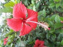 Rode hibiscusbloemen op de muur royalty-vrije stock foto