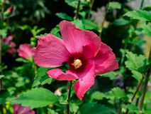 Rode hollycockbloem in bloei stock afbeelding