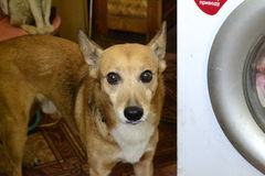 Rode hond Royalty-vrije Stock Afbeeldingen