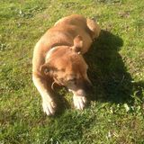 Rode hond stock afbeelding