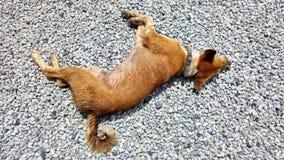 Rode hond Stock Foto