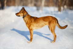 Rode hond in de winterpark die zich op de weg en het vooruitzien bevinden Stock Afbeelding