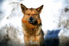 Rode hond die in de sneeuw liggen Royalty-vrije Stock Afbeelding