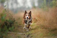 Rode hond die op het gebied lopen Border collie op de aard van ochtend het spelen Lopend met gezonde huisdieren, actief, stock foto's