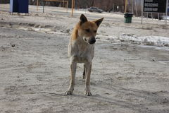 Rode hond op de Bank van de winterrivier Stock Foto