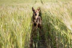 Rode hond op gebieden van tarwe Royalty-vrije Stock Foto