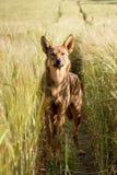 Rode hond op gebieden van tarwe Stock Afbeelding