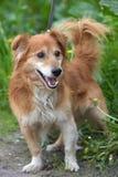 Rode hond pooch voor een gang in de zomer royalty-vrije stock foto's
