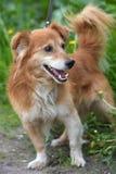Rode hond pooch voor een gang in de zomer stock afbeelding