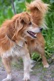 Rode hond pooch voor een gang in de zomer stock foto